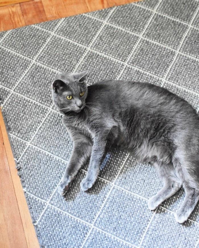 Blue Russian Male cat 1
