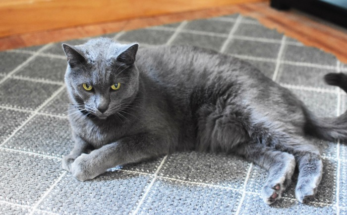 Blue Russian Male kitty 1